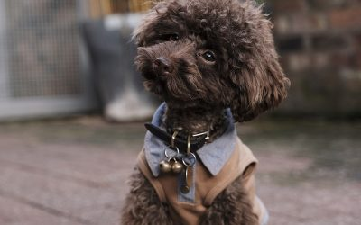 Best Furcut Styles for Poodles of All Sizes