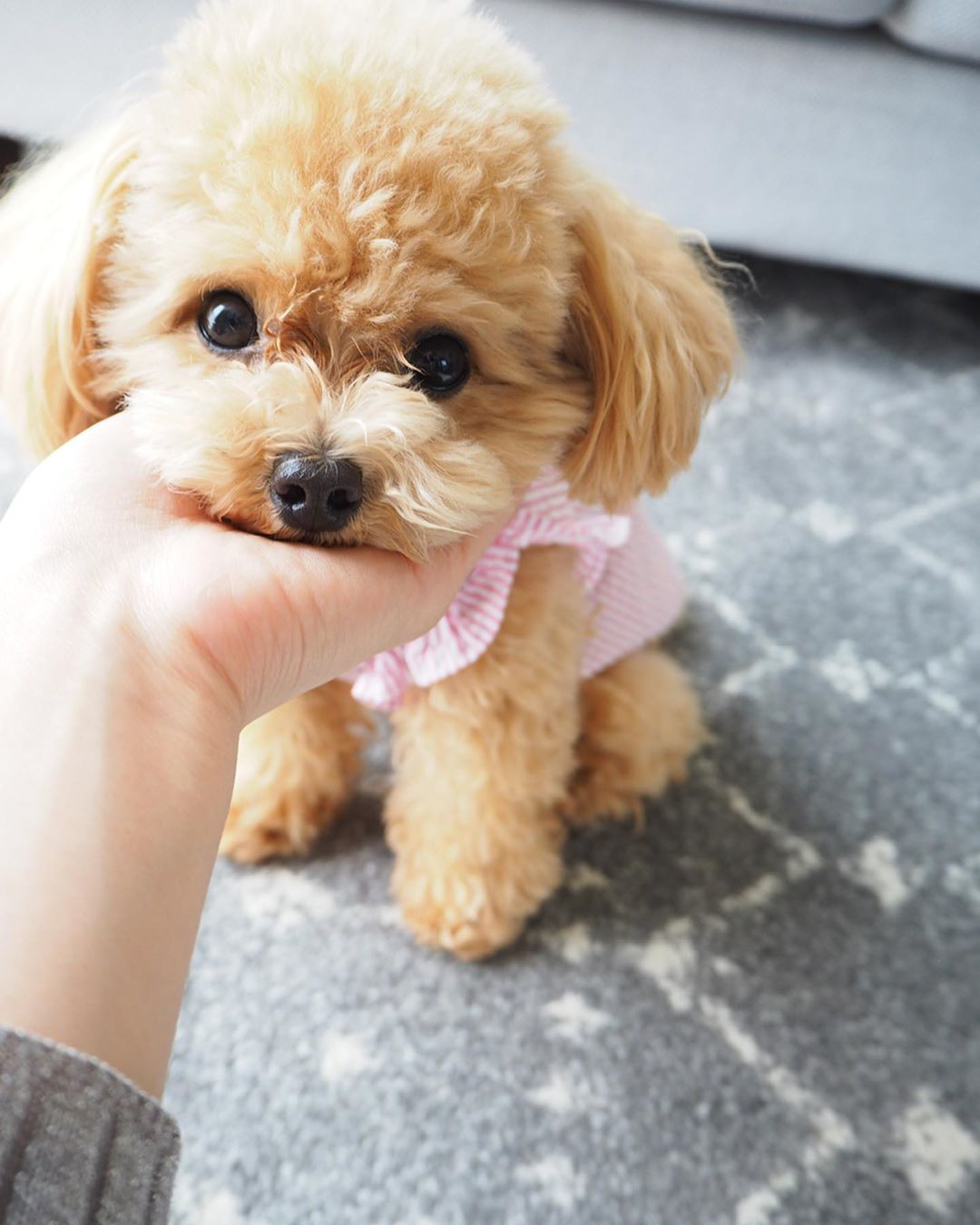 Preventing and Fighting Cancer in Poodles