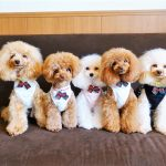 The Cost of Poodle Pet Insurance