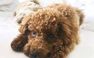 Vet Recommended Dog Food for Poodles