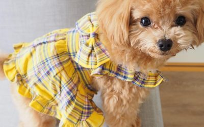 What to Do When Your Poodle Has Diarrhea