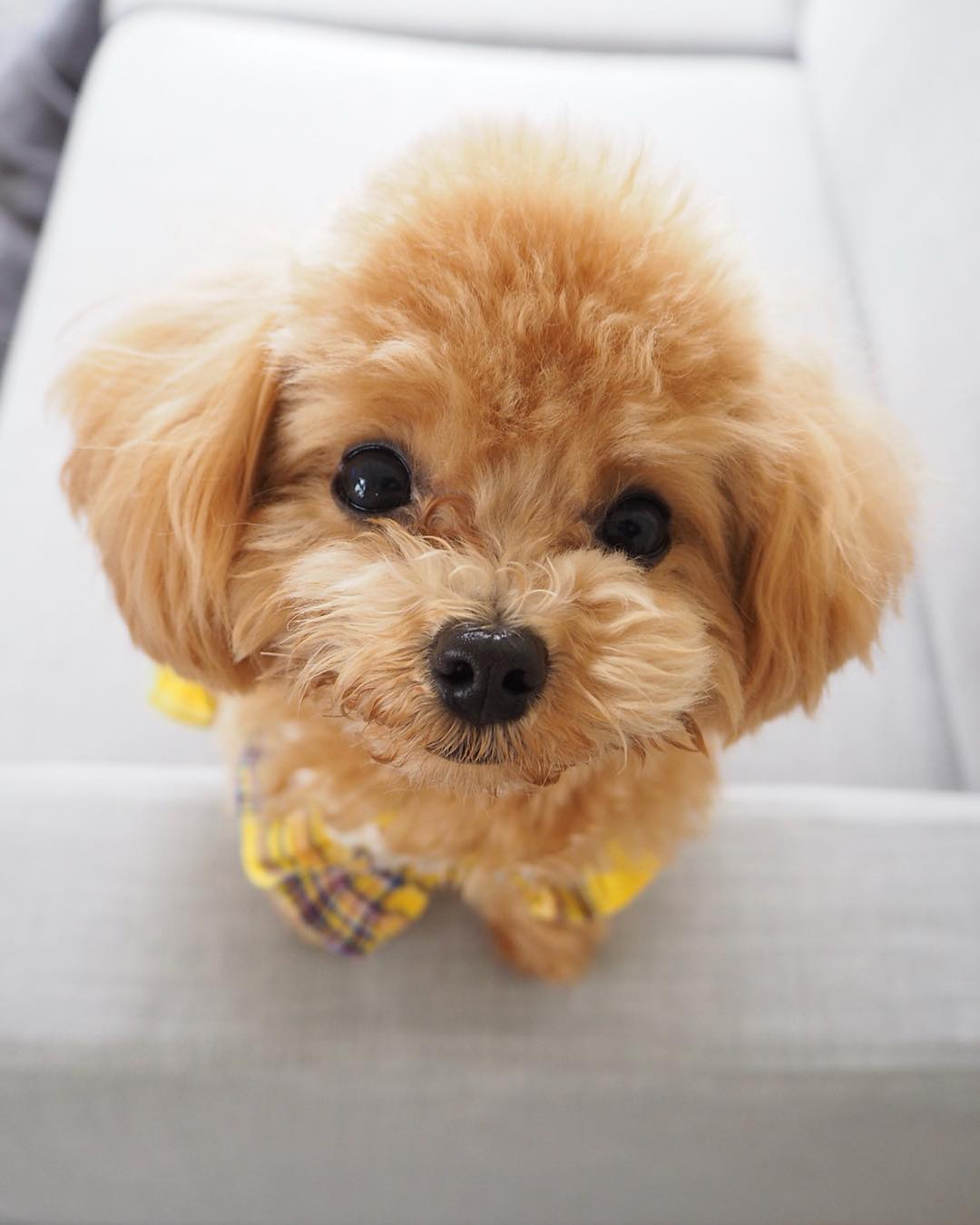 What to Do When Your Poodle Has an Ear Infection