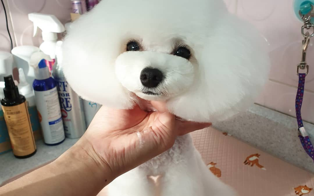 How to Train Your Poodle to be Calm While Grooming