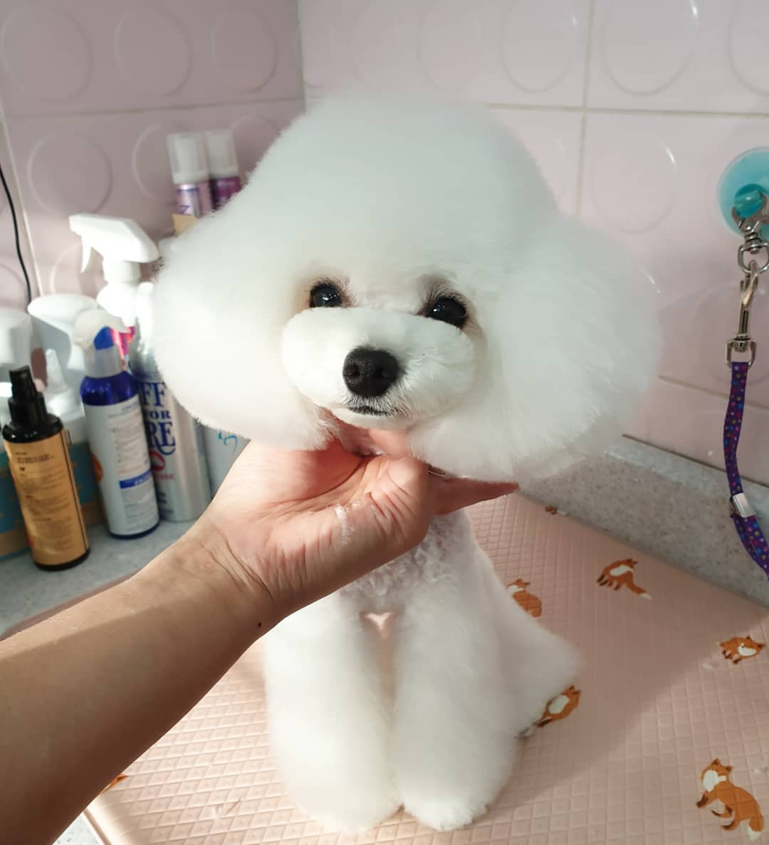 How To Train Your Poodle To Be Calm While Grooming Poodled Com
