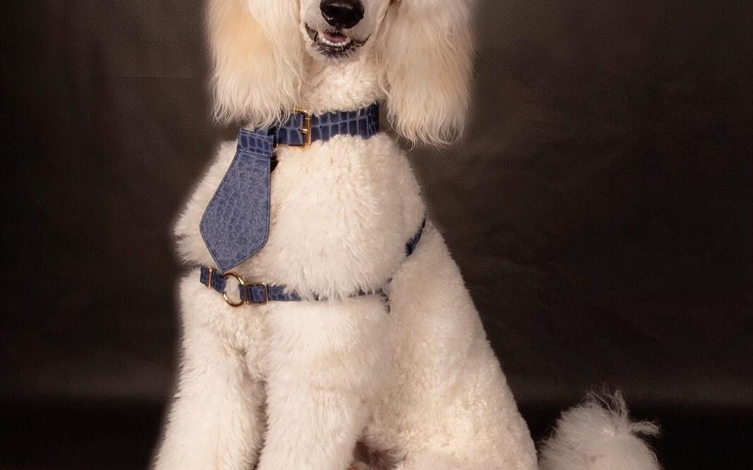 Best Poodle Training Harnesses