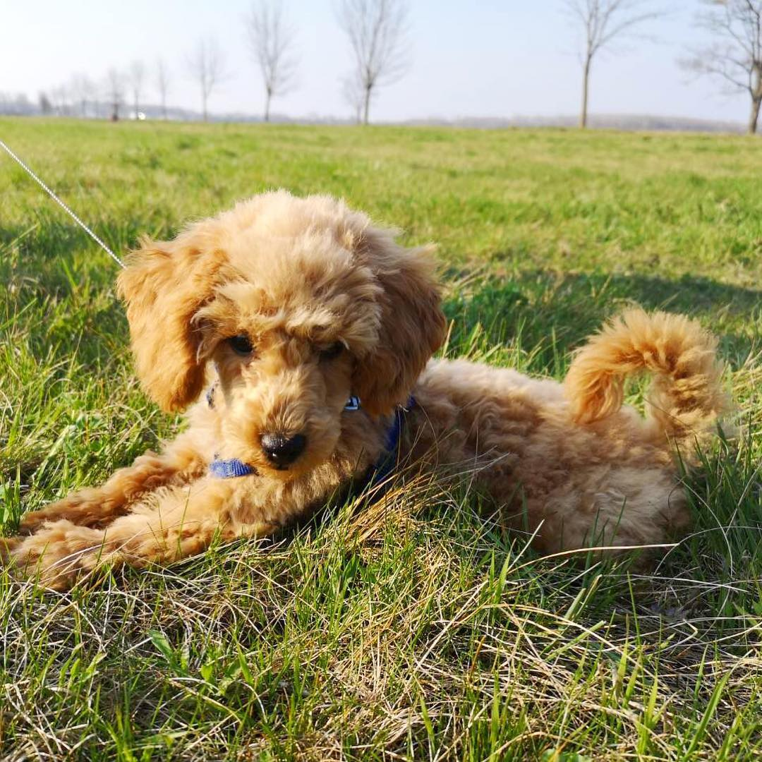 Poodle Vaccination and Disease Prevention