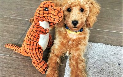 Training Toys for Poodles