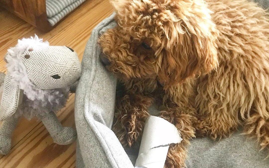 Stuffed Toys for Poodles