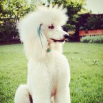 Best Dog Food for Royal Poodles with Allergies
