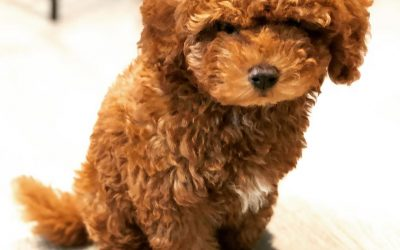 The Best Lifestyles for Poodle Owners