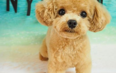 What are Teacup Poodles?