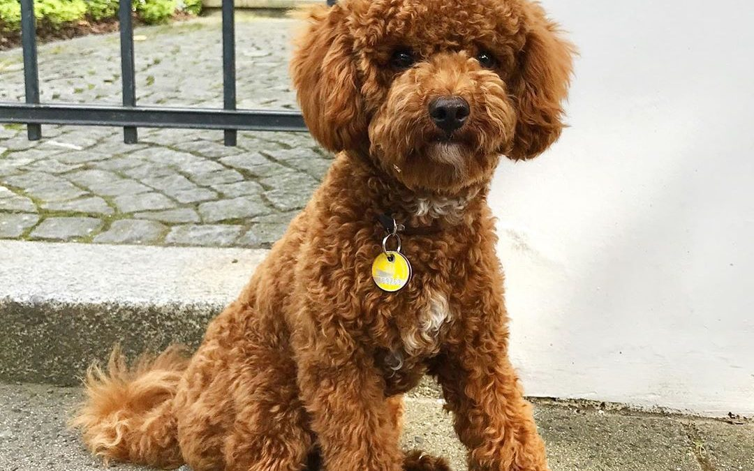 Poodle Health Differences by Type