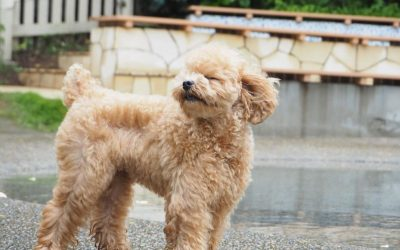 Best Puppy Food for Poodles Depending on the Size