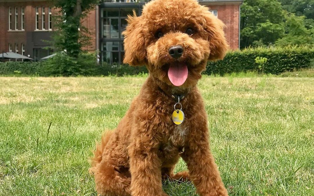 Best Low Protein Dog Food For Poodles