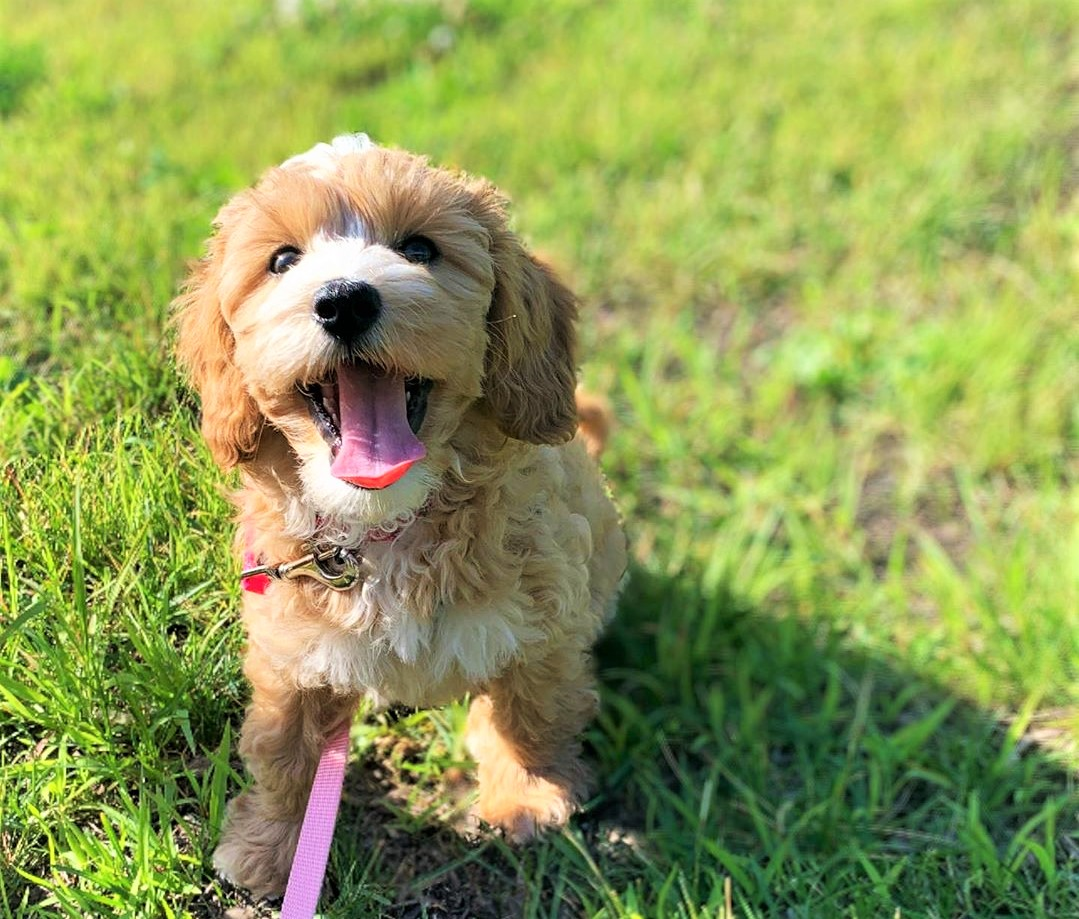 Best Dental Care Products for Poodles