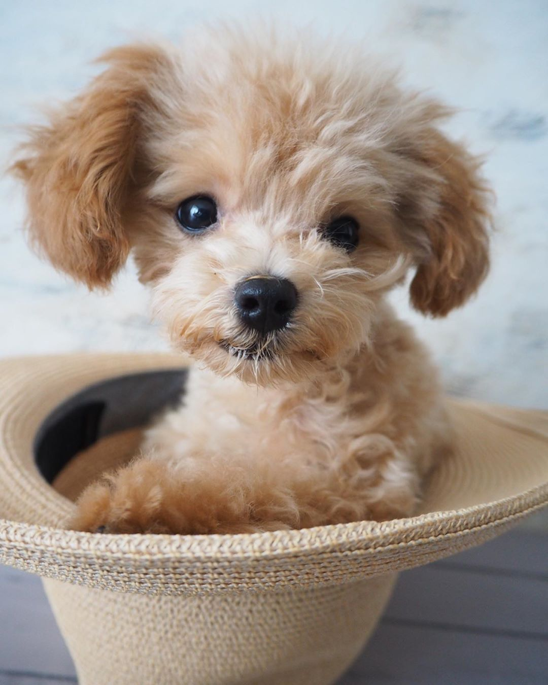Training Your Poodle not to Jump to Your Bed