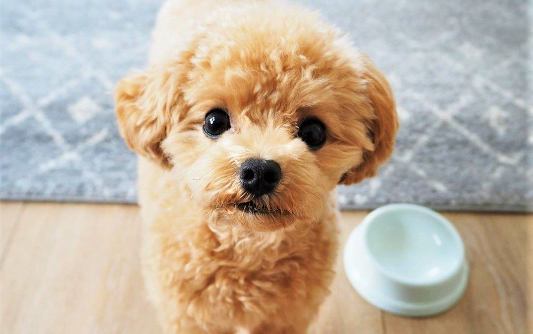Best Freeze-Dried Dog Food for Poodles by Size