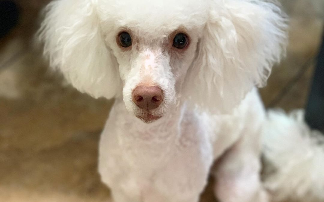 Poodle Mixes: What to Expect