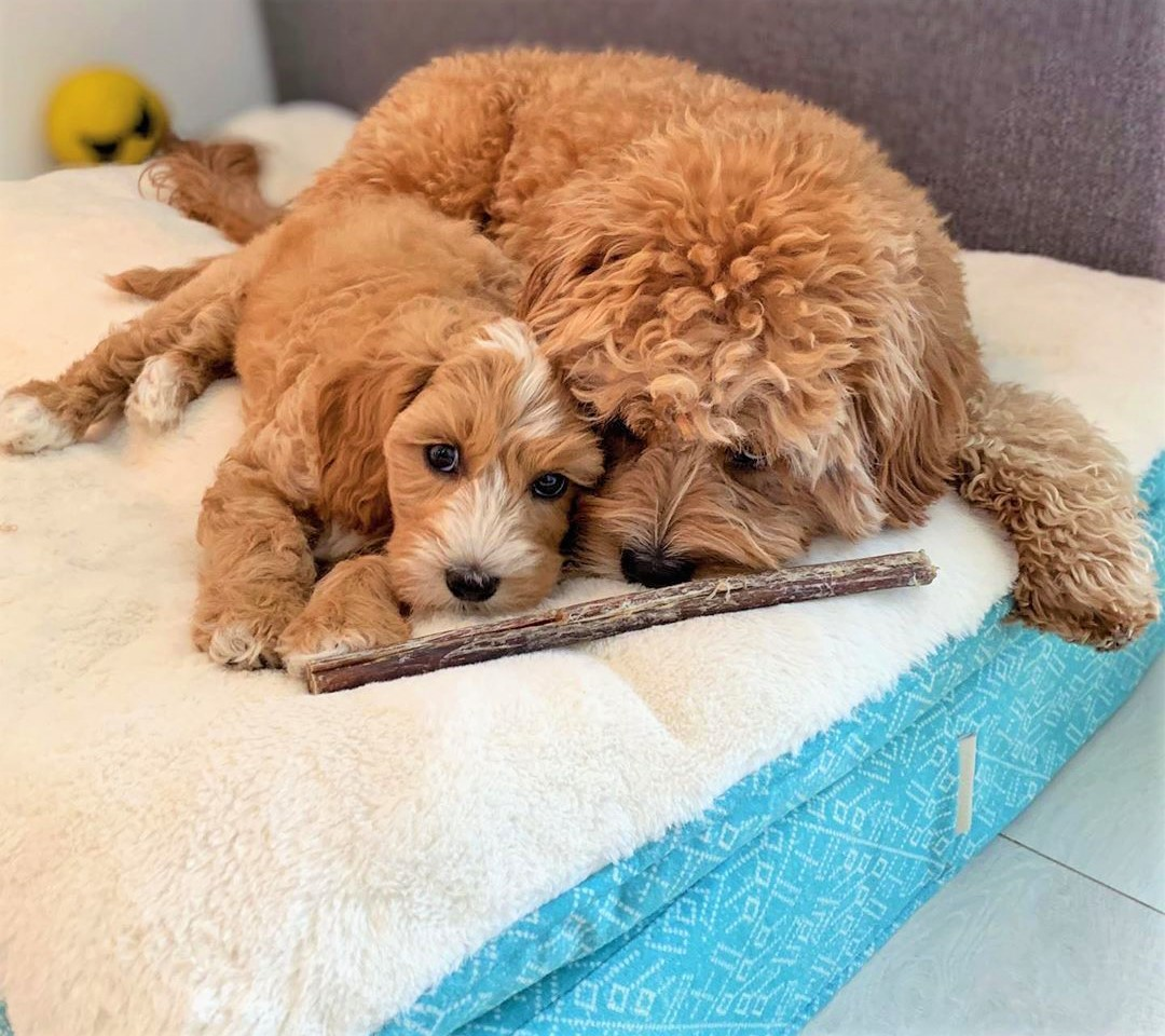 Soft Beds for Toy Poodles