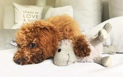 Best Toys for Miniature Poodles